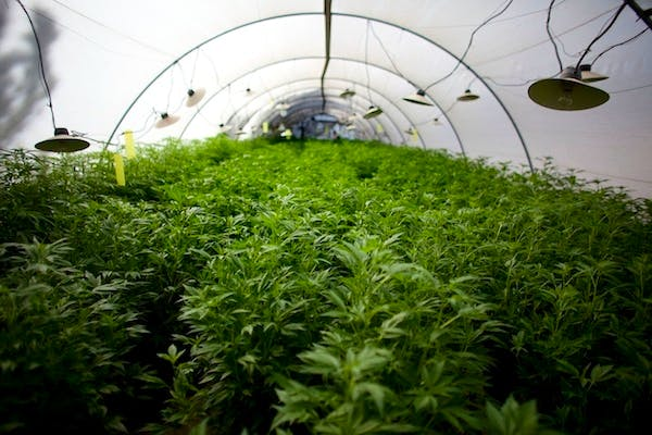 Cannabis plants at the growing facility of the Tikun Olam company near the northern city of Safed, Israel. Picture: Getty