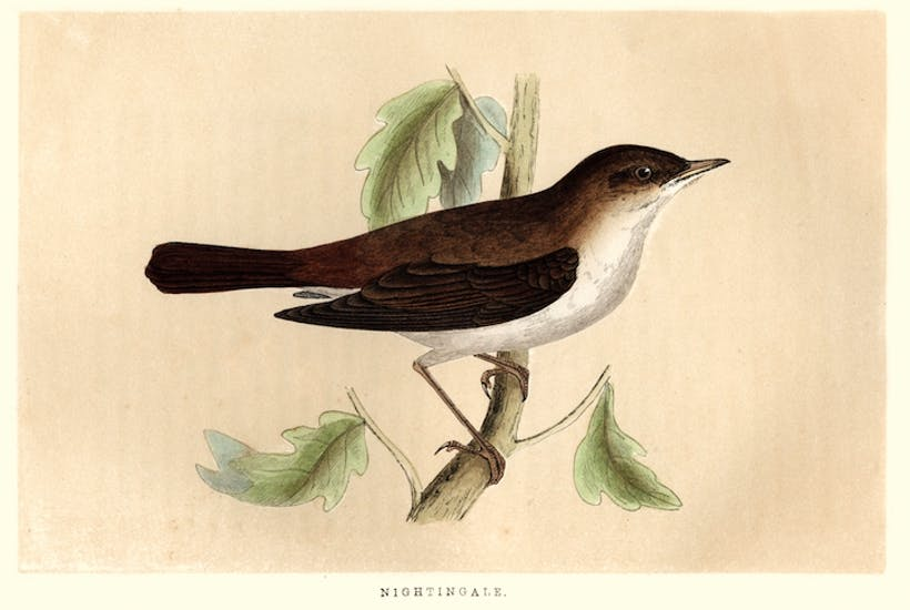 Vintage engraving of a Common nightingale, from Francis Orpen Morris